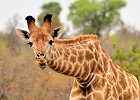 Private Family/Small Group Cape and Kruger Safari