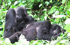 5 Day Gorilla Safari