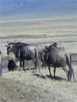 3 Days budget Tented Camp Safari to Masai Mara Kenya