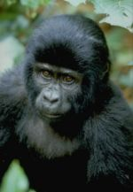 Luxury Gorilla Safari