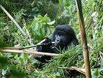 4 days Mountain Gorilla and Wildlife Safari Uganda