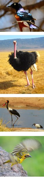 Tanzania Bird Watching and Wildlife Safari