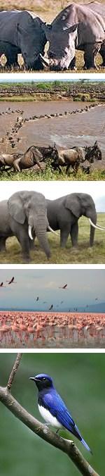 5 Days Masai Mara and Lake Nakuru Safari in Kenya
