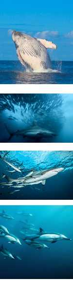 Sardine Run Upper Wild Coast of South Africa